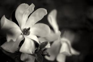 evening magnolia